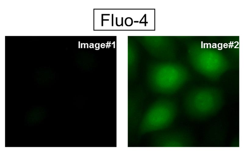 (a) Fluo-4