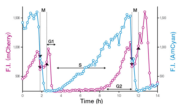 Detection of a Short G1 Phase