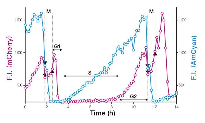 図3:Fucci(CA)2.1を発現する単一細胞核の蛍光強度の経時変化