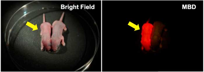 Figure 1. Neonate MethylRO mouse for visualization of methylated DNA (yellow arrows). When irradiated with the excitation light, the entire body glows red through a filter (right panel).