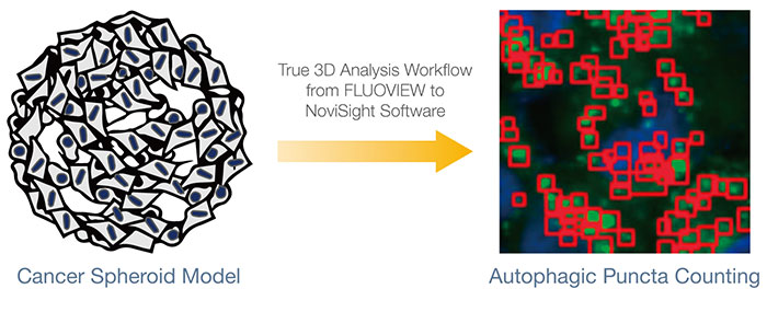 True 3D Analysis Workflow from FLUOVIEW to NoviSight Software