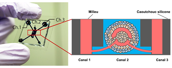 Figure 1. Puce microfluidique et modèle de tumeur