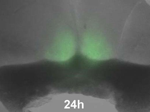 マウス視交差上核における時計遺伝子解析