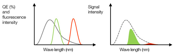 Figure 3 – Left: the gray line is the QE of a camera. Green and red lines indicate fluorescence emission spectrum. Right: the detected signal value is equal to the area size, which is a multiplier of the QE and fluorescence spectrums in the left figure. In this case, even if the fluorescence light has enough intensity, the detected signal could be weak for red fluorescence due to low QE.
