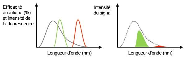 Figure 3 – À gauche : La ligne grise représente l'efficacité quantique d'une caméra. Les lignes verte et rouge indiquent le spectre de l'émission de fluorescence. À droite : La valeur du signal détecté équivaut à l'aire du pic, qui est le produit du spectre d'efficacité quantique et du spectre de fluorescence sur la figure de gauche.Dans ce cas, même si l'intensité de la lumière de fluorescence est suffisante, le signal détecté sera faible en raison d'une faible efficacité quantique à cette longueur d'onde.