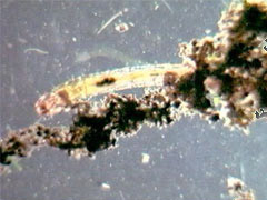 Chironomid (Insects)