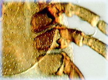 Deer Tick (Ioxedes scapularis)