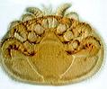 Varroa Mite (Varroa jacobsoni)