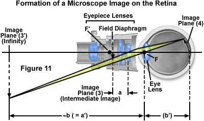 Microscope optical components introduction together the eye and eyepiece form an image on the retina image plane 4 as though the eye were seeing the virtual image ccuart Image collections