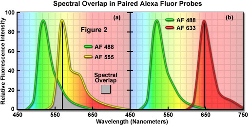 confocal microscopy colocalization of fluorophores in confocal microscopy