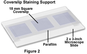 Coverslip Staining Support