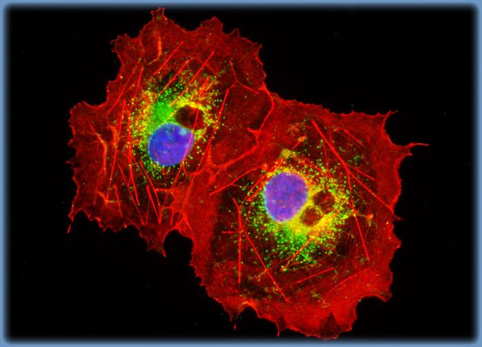 Transformed African Green Monkey Kidney Fibroblast Cells (COS-7 Line)