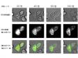 ライブセルイメージング・細胞生物・分子生物学分野での発光イメージング活用事例