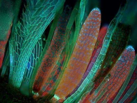 Horn calcareous moss